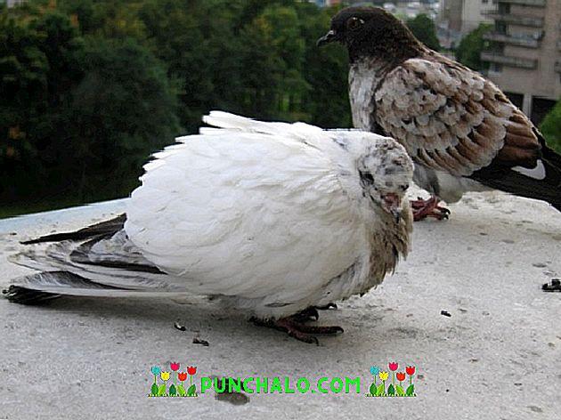 Boli de porumbei și paraziți, Infestatia cu helminti – ascaridioza porumbeilor