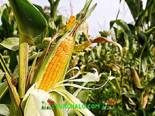hogyan befolyásolja a kukorica a látást