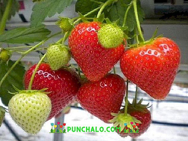 căpșunile de căpșuni ajută să și piardă grăsimea buric