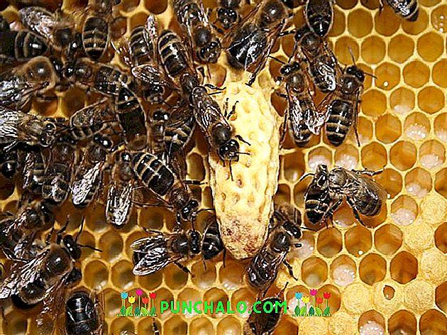замена пчела матка