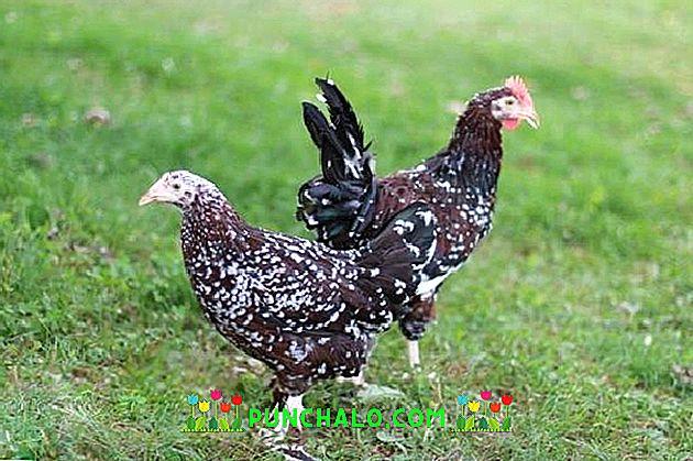 Velké ptáky v bílých kuřatech