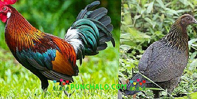 nagy kakas Thaiföld nagy fasz orn