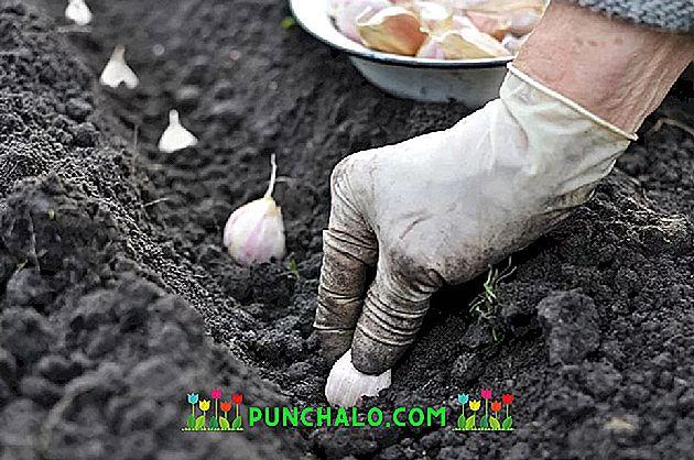 Comment traiter l'ail à l'automne avant la plantation
