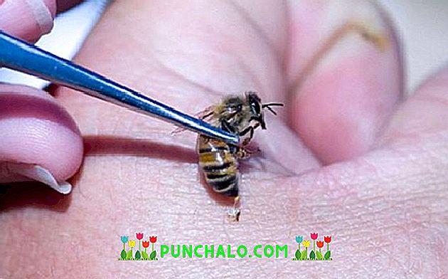 Méhek a prosztatitis kezelésében