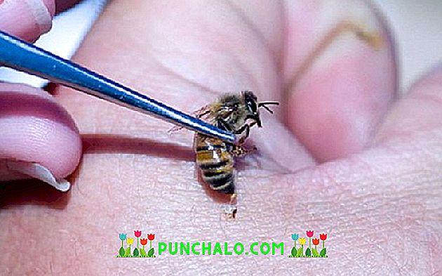 A prosztatitis méhek orvoslása)