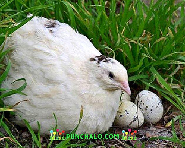 ab wann legen wachteln eier
