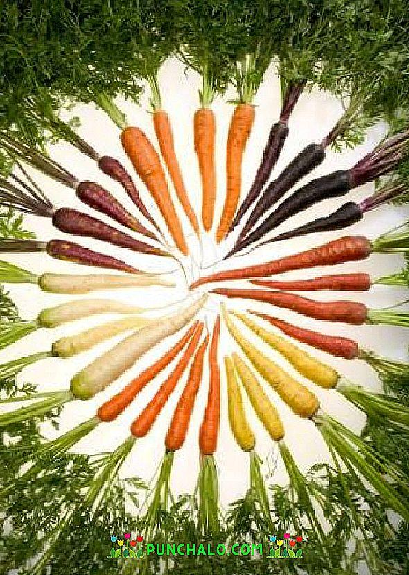 Variedades De Zanahoria Blanca Llevar las zanahorias cocinadas a una cacerola. https es punchalo com 190 white carrot varieties
