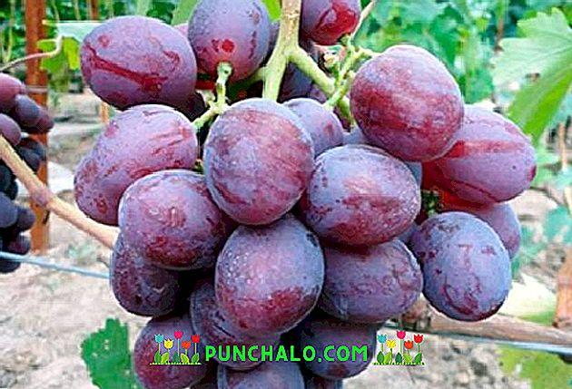 Szeretem a szőlőt