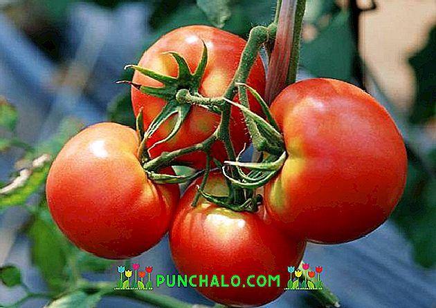 tomatele ard grăsime