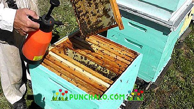 Halott méhek a prosztatitis kezelése