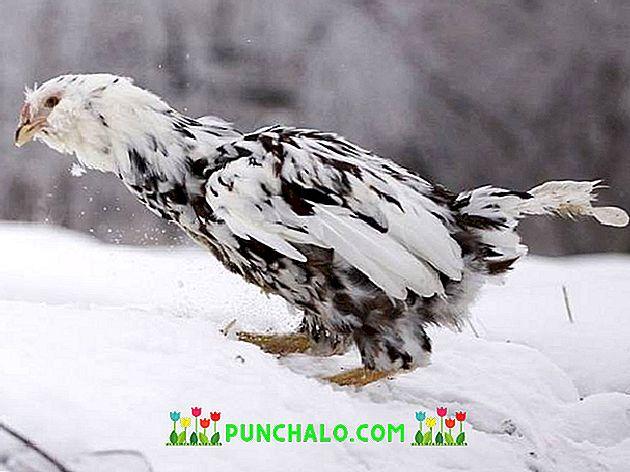 velké ptáky pro horké kuřata