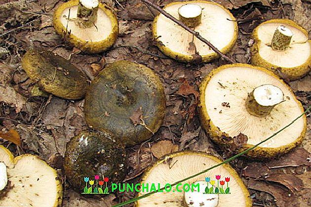 Pierderea în greutate a ciupercii negre. Ciuperci shiitake pentru pierderea în greutate