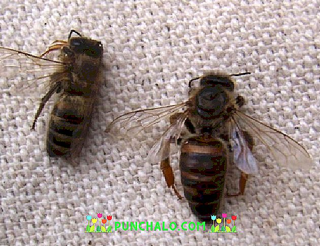 Halott méhek a prosztatitis kezelése A prosztata fókusz hiperplázia