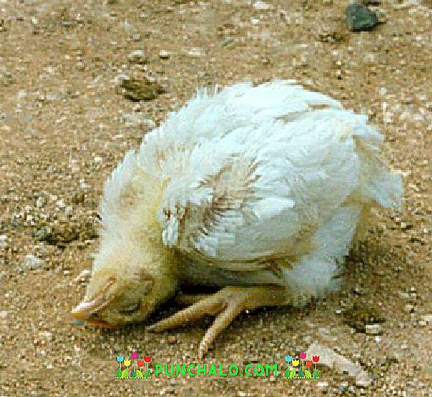 Asijské kuřata s velkými ptáky
