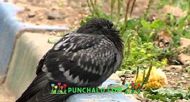 boli de porumbei și paraziți