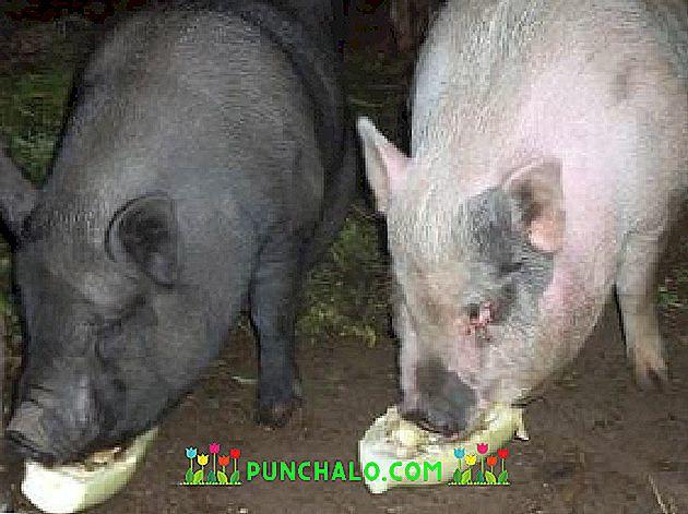 pierderea în greutate a porcilor)