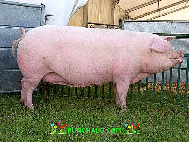ajuta porcul meu să piardă în greutate)