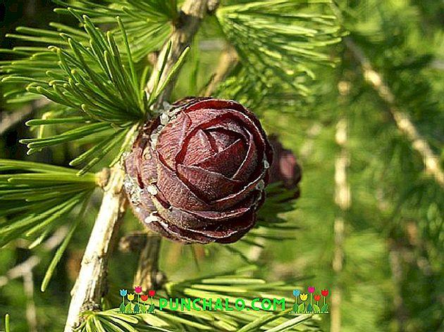 A kerekes férgek pinworms ek A pinworms károsítja a testet