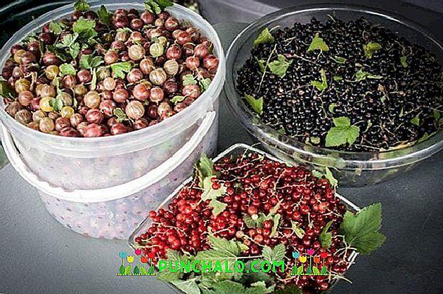 come preparare il succo di uva spina per perdere peso